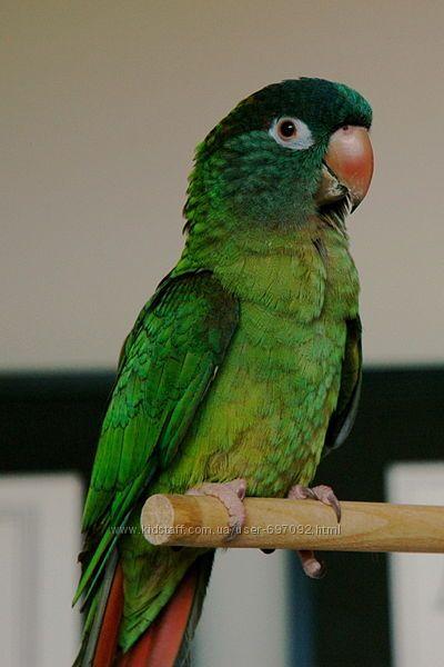 Ручной попугай аратинга острохвостый для обучения разговору