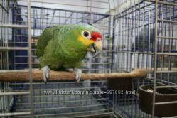 Ручной попугай Краснолобый амазон -  птенцы выкормыши