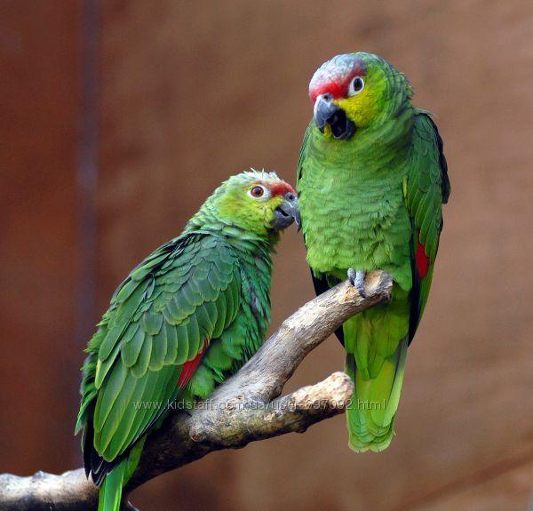 Ручные птенцы выкормыши Амазон Lilacine Amazon