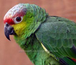 Ручной говорящий попугай Амазон Red-lored Amazon
