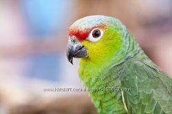Ручные птенчики большого попугая Amazona autumnalis lilacina