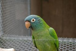 Продам ручного попугая Aratinga acuticaudata acuticaudata