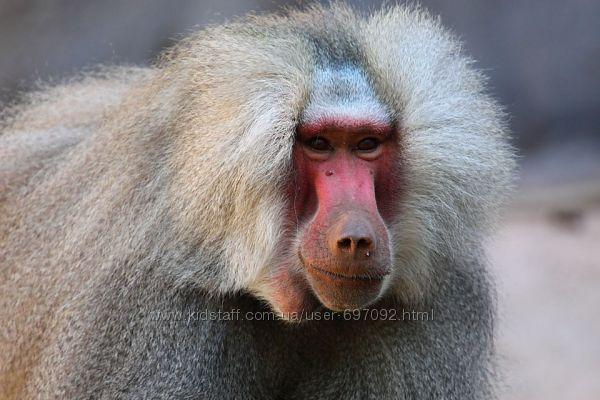 Продам мартышки , гамадрилы, обезьяны разных пород