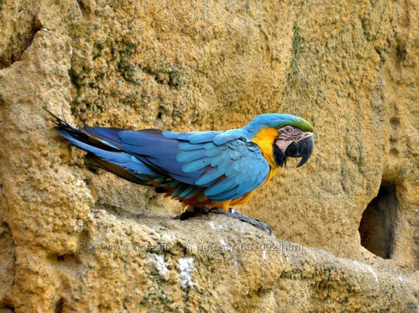 Попугай Ара  ручные птенцы выкормыши, разные виды