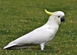 Попугай Какаду  ручные птенцы выкормыши, разные виды какаду