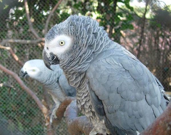 Продам попугая жако для обучения