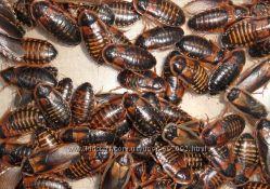 Продам Аргентинский таракан Blaptica dubia