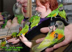 Сенегал - ручные птенцы первый выводок 2014 года торопитесь