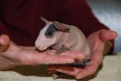 Морская свинка голышок Скинни - лучший подарок для любимых