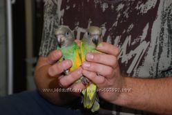 Сенегальский попугай - ручные сенегалы первый выводок 2014 года