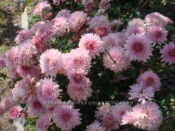 хризантема многолетняя