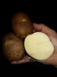Картофель сорт киви