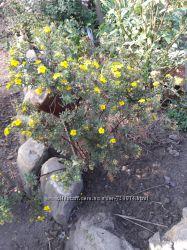 Лапчатка желтая многолетняя
