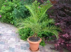 Семена финиковой пальмы 20шт.