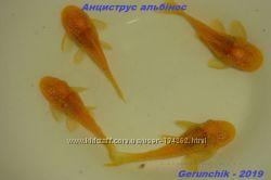 Анциструсы  альбиносы