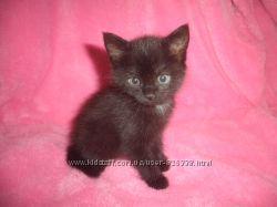 Отдам в хорошие руки черного котенка, девочка, возраст 1 месяц, 2 недели, д