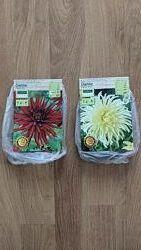 Георгины кактусовые Dahlie Kaktus Rot и Wei по оригинальной цене