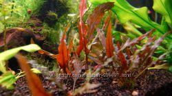 Несложное аквариумное растение с коричневыми листьями