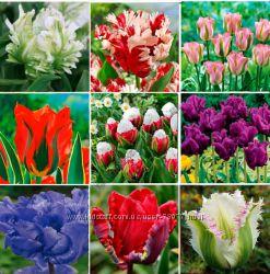 Тюльпаны Попугайные и зеленоцветковые рассылаю