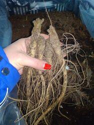 Шток-роза махровая, мальва махровая. 3 разных 250грн