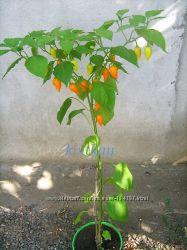 Семена комнатных перцев часть 1