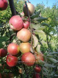 Яблоки из собственного сада, органические, выращенные без химии