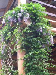 Продам растения для сада. Глициния китайская Блю Мун. Кампсис. Форзиция.