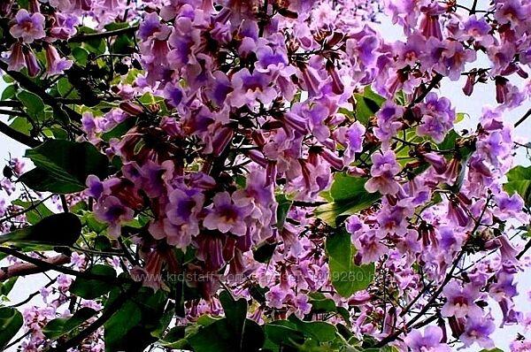 Павловния войлочная, Адамово дерево, Р9, 2 года.