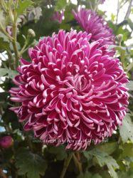 Маточник крупноквіткової хризантеми темно-рожевої