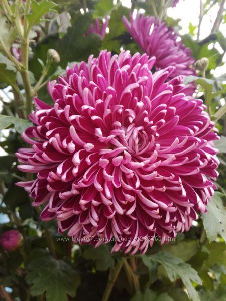 Крупноквіткова хризантема Сива дама