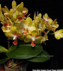 Phalaenopsis Miki Golden Sand &acuteBaby MXS02´ размер 3. 5