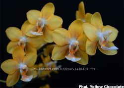 орхидея фаленопсис Yellow Chocolate в размере 2, 5   растет цветонос