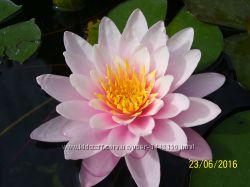 Нимфея - водная лилия Marliacea Rosea