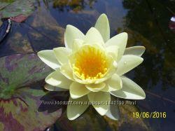 Нимфея - водная лилия Marliacea Chromatella
