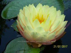 Нимфея - водная лилия Blushing Bride