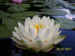 Нимфея - водная лилия Gonnere