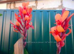 Канна. Квітка канни  Цветок канны