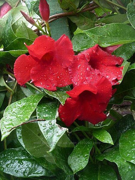 Дипладения  Мандевилла молодое растение с бутонами