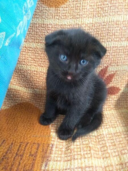 Котик шотландец вислоухий мальчик скоттиш фолд