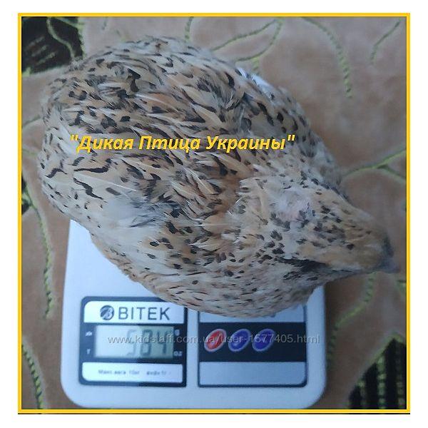 Яйца инкубационные перепела феникс золотистый - France.