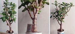 Крассула минор, денежное дерево-толстянка
