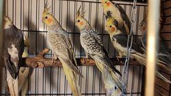 Попугай Корелла, птенцы разных окрасов