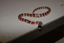 Молочная змейка Пиромелана