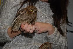 Карликовая сова Сплюшка, домашние совы