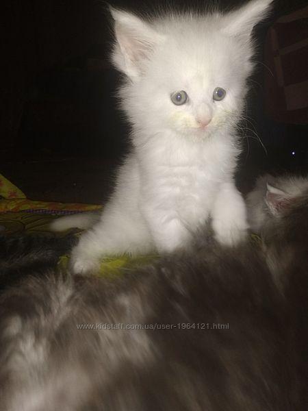 Мейн Кун котята с документами от Заводчика